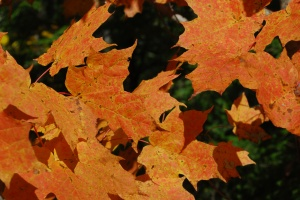 autumn_leaves_close-up