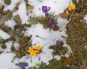 crocus_snow_01