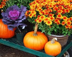 pumpkins_mums