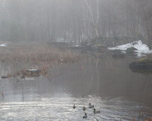 ducks_in_the_fog_elkins