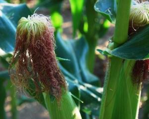 corn_field_07