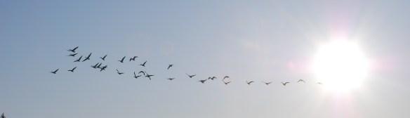 Pleasant_Lake_Geese_01