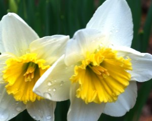 daffodils_in_the_rain_03