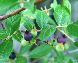 blueberries_02