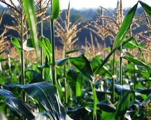 corn_field_06