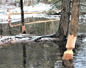beaver_landscape_014